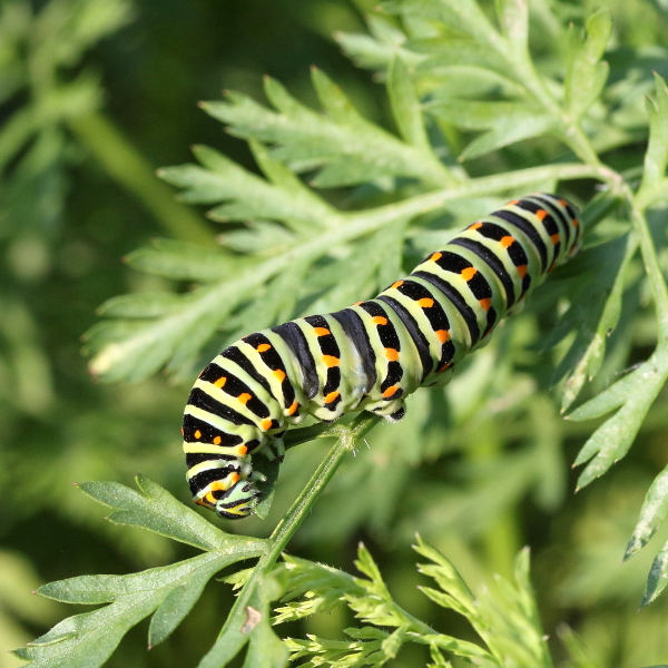 Chenille Machaon 2