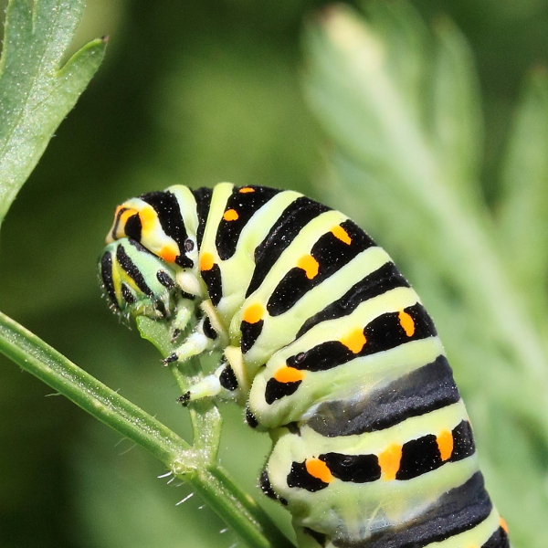 Chenille Machaon 3