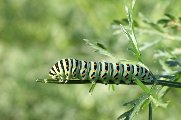 Chenille du Machaon 1